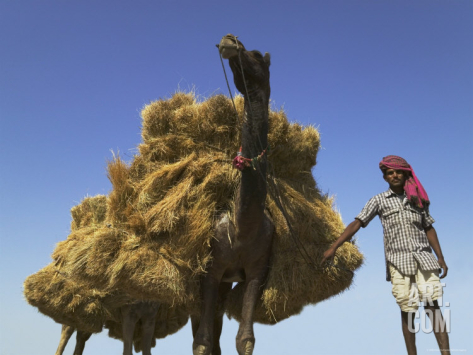 camel-carrying-straw