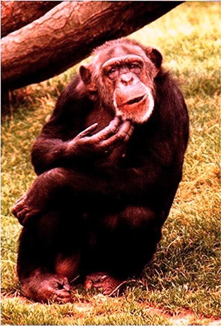 confused-chimp-chimpanzee-monkey1