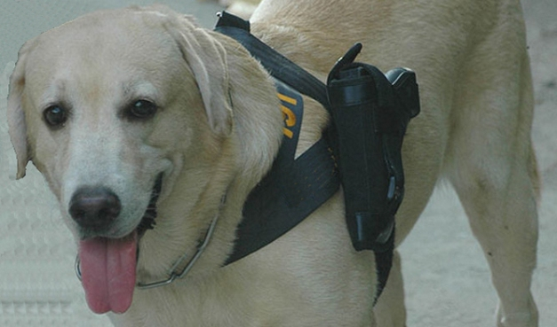 Police-Labrador-Is-Authorized-to-Carry-a-Gun